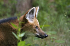 maned wolf för brachyuruschrysocyon Royaltyfria Foton