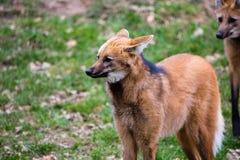maned wolf för brachyuruschrysocyon Arkivfoto