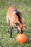Maned wolf and his ball Stock Photo