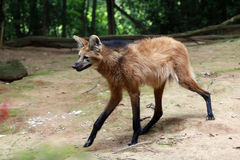 Maned wolf, the largest canid of South America Royalty Free Stock Image