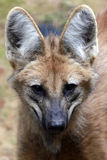 Maned wolf, the largest canid of South America Royalty Free Stock Photos