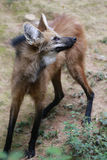 Maned wolf, the largest canid of South America Stock Photo