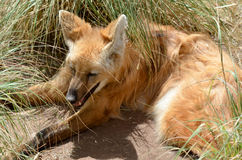 The maned wolf Stock Photos