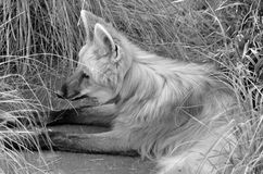The maned wolf Stock Photo