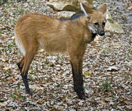 Maned wolf 3 Royalty Free Stock Images