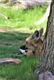 Maned Wolf, Phoenix-Zoo, Arizona-Mitte für Erhaltung der Natur, Phoenix, Arizona, Vereinigte Staaten lizenzfreie stockbilder