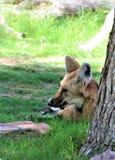 Maned Wolf, Phoenix-Zoo, Arizona-Mitte für Erhaltung der Natur, Phoenix, Arizona, Vereinigte Staaten stockfotos