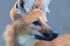 Maned Wolf. Portrait of a Maned wolf Stock Image