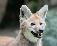Maned wolf portrait Stock Image