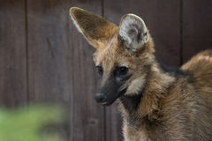 Maned Wolf Royalty Free Stock Photography