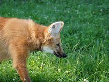 Maned wolf portrait Stock Photos