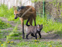 Maned Wolf Puppy Stock Photos