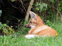 Maned wolf resting - closeup view Stock Photography