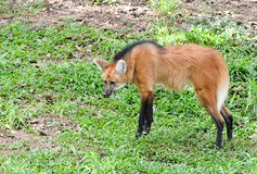 Maned wolf Royalty Free Stock Photo