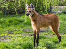 Maned wolf stands royalty free stock images