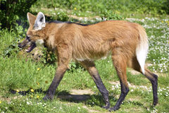 Maned Wolf walking on grass Stock Photo