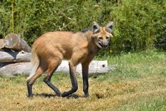 Maned Wolf walking on grass Royalty Free Stock Images