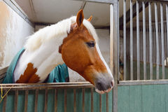 Manege horse in stable. Head of a horse in manege stable Royalty Free Stock Photography