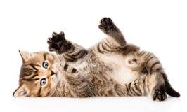 Maneggiare gattino britannico Isolato su priorità bassa bianca Fotografie Stock