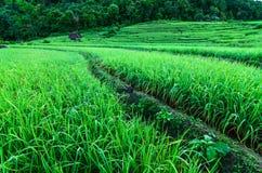 Maneira ao terraço do arroz Fotos de Stock Royalty Free