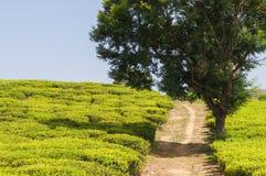 Maneira através de uma plantação de chá Imagens de Stock Royalty Free