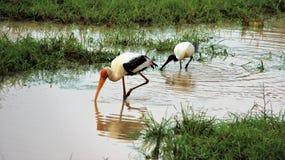 Maneira de liberdade da forragem da água-mãe do amante dos animais selvagens com casa da natureza Fotos de Stock