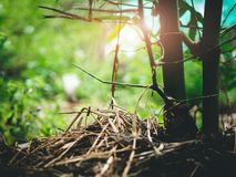 Maneira do ` s do fazendeiro de crescer os bambus naturais cobertos com a palha, mois Imagem de Stock Royalty Free