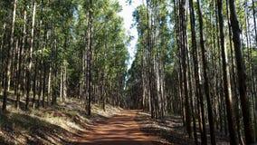 Maneira na floresta do eucalipto no solo vermelho foto de stock