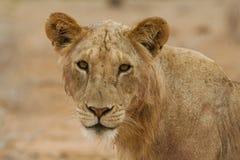 Maneless lion Stock Image
