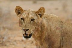Maneless lion Stock Photography