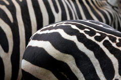 Maneless zebra (Equus quagga borensis) skin texture. Stock Photo
