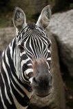Maneless zebra (Equus quagga borensis). Royalty Free Stock Images