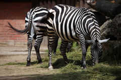 Maneless zebra (Equus quagga borensis). Royalty Free Stock Photo