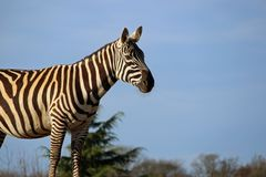 Maneless zebra with erect ears. Maneless zebra Equus quagga borensis with erect ears in profile on a mound with trees and blue sky in the background stock images