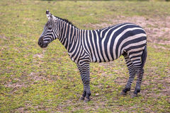 Maneless Zebra in green grass Stock Photo