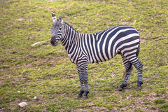 Maneless Zebra looking in camera Royalty Free Stock Photo