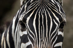 Maneless zebry skóry tekstura (Equus kwaga borensis) Obraz Stock