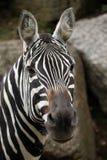 Manelesszebra (Equus-quaggaborensis) Royalty-vrije Stock Afbeeldingen