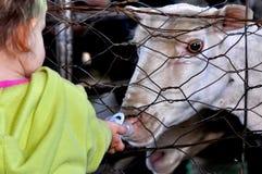 Manequim bebendo dos carneiros de Merino Fotografia de Stock