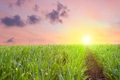 Manera al sol, hierba fresca con descensos del colorf de desatención del rocío fotos de archivo libres de regalías