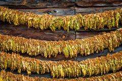 Manera clásica de secar el tabaco Foto de archivo