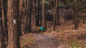 Manera de Achilles The Dog Leading The foto de archivo libre de regalías
