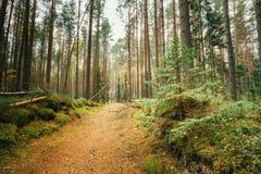 Manera de la calzada del carril de la trayectoria a través de Autumn Forest Nobody conífero Foto de archivo libre de regalías