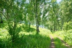 Manera de la trayectoria al lago en bosque del abedul fotografía de archivo