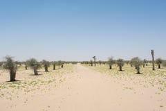 Manera del desierto entre el crecimiento de árboles jovenes plantados Fotos de archivo