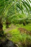 Manera del tractor en plantaciones de la palma de aceite Fotografía de archivo libre de regalías