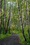 Manera en el bosque del abedul Fotos de archivo libres de regalías