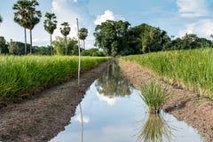 Manera paralela en campo verde del arroz Imagen de archivo libre de regalías