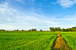 Manera rural a través de campos con trigo Fotografía de archivo libre de regalías