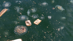 Manet Aurelia i förorenat vatten Arkivbild